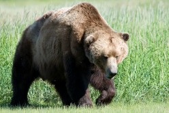 Kenai Brown Bear Hunt Closes